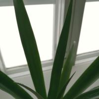 Ananaksen kasvatus Suomessa